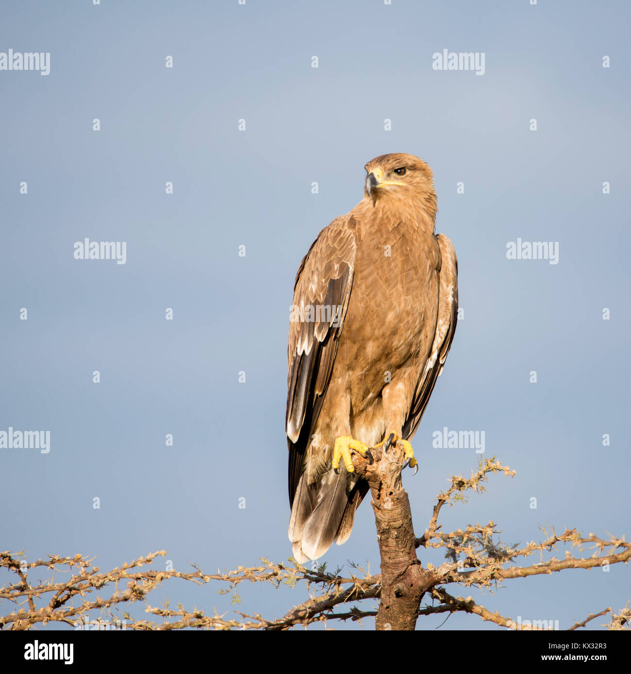 A Tawny Eagle perched on top ogf a dead tree, looking and hunting, Valley camp Mara Naboisho conservancy Kenya Africa Stock Photo