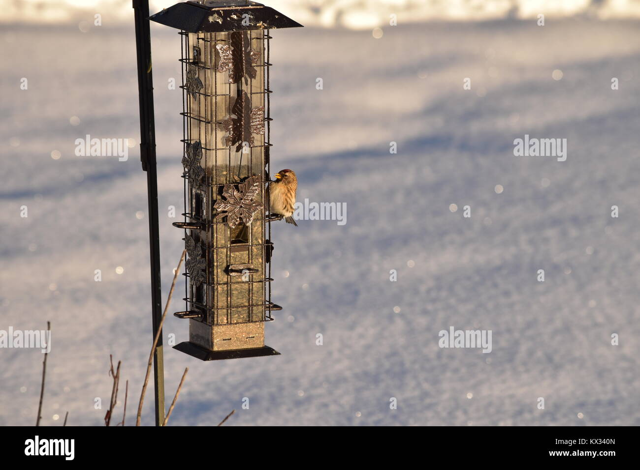 A little Common Red Poll sitting on my feeder take on December 31, 2017 at 4:00 PM - Stock Image