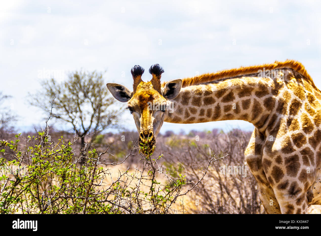 Close Up of a Giraffe looking at the camera in the savanna area of central Kruger Park in South Africa - Stock Image