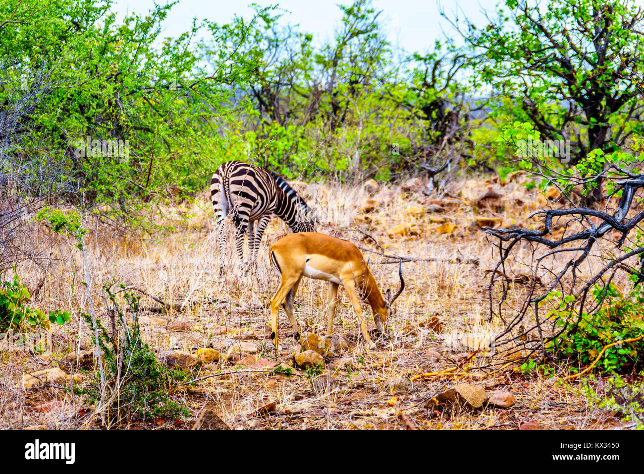 Zebra and Impala grazing in the drought stricken savanna area of central Kruger Park in South Africa Stock Photo