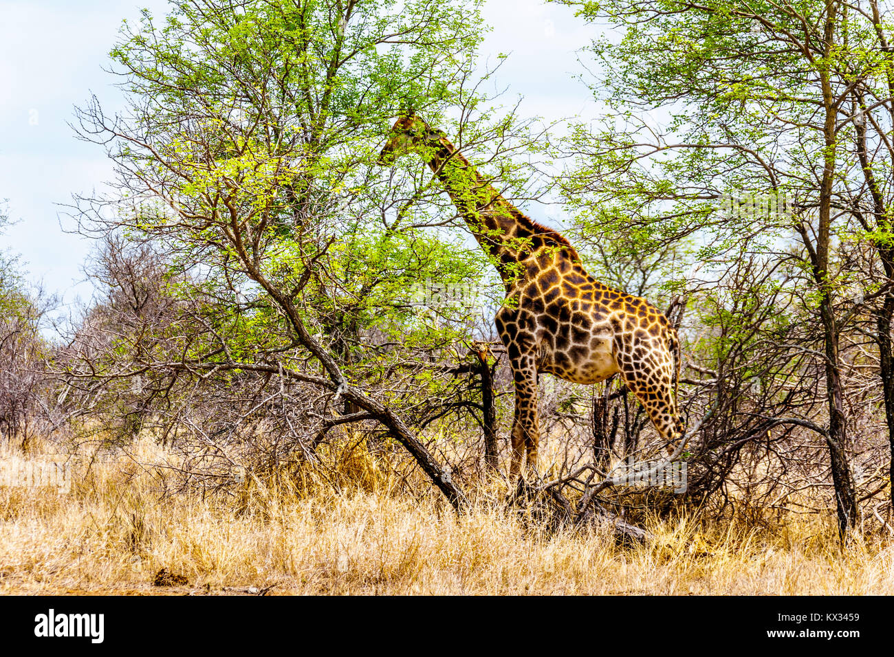 Giraffe eating the leafs of the few green trees in the drought stricken savanna area of central Kruger National - Stock Image