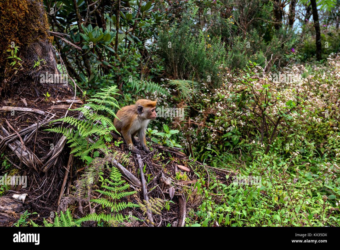 Srilankan toque macaque or Macaca sinica in jungle - Stock Image