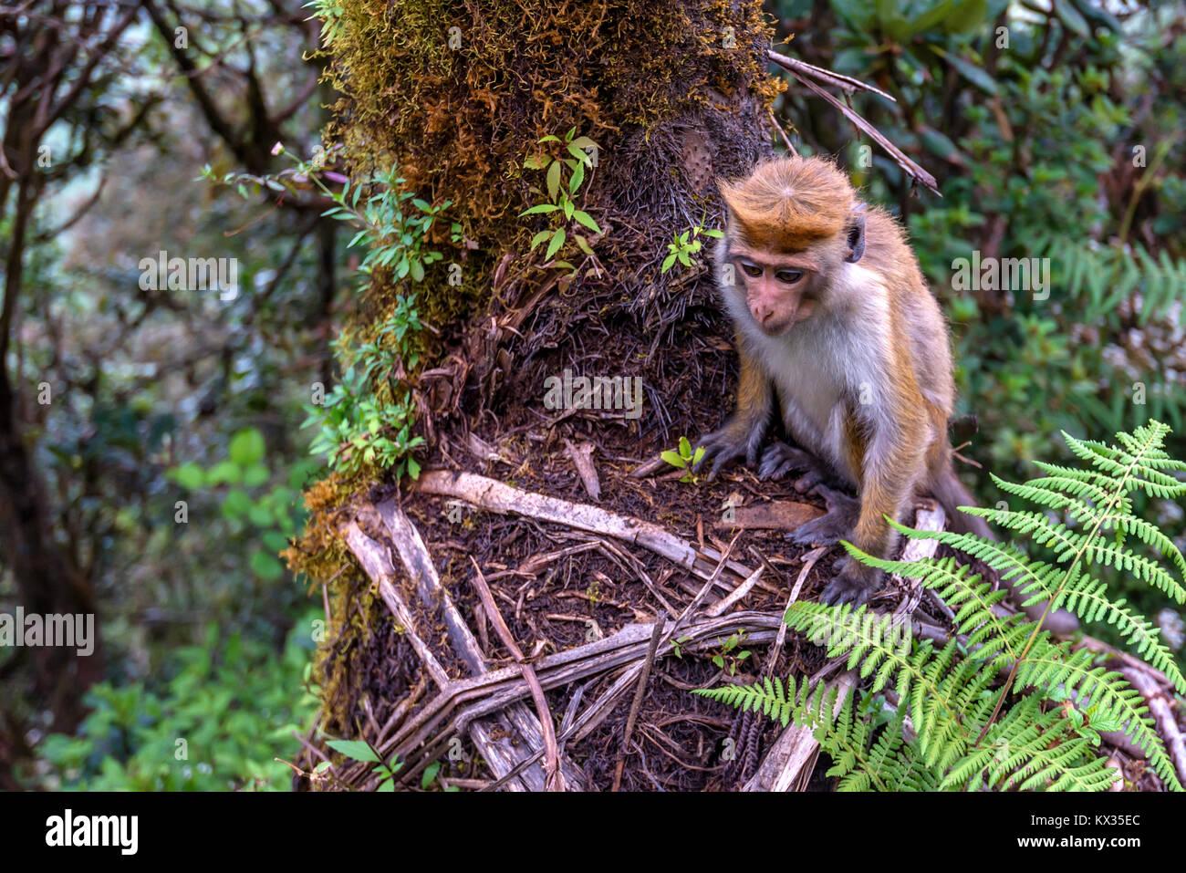 Srilankan toque macaque or Macaca sinica in jungle Stock Photo