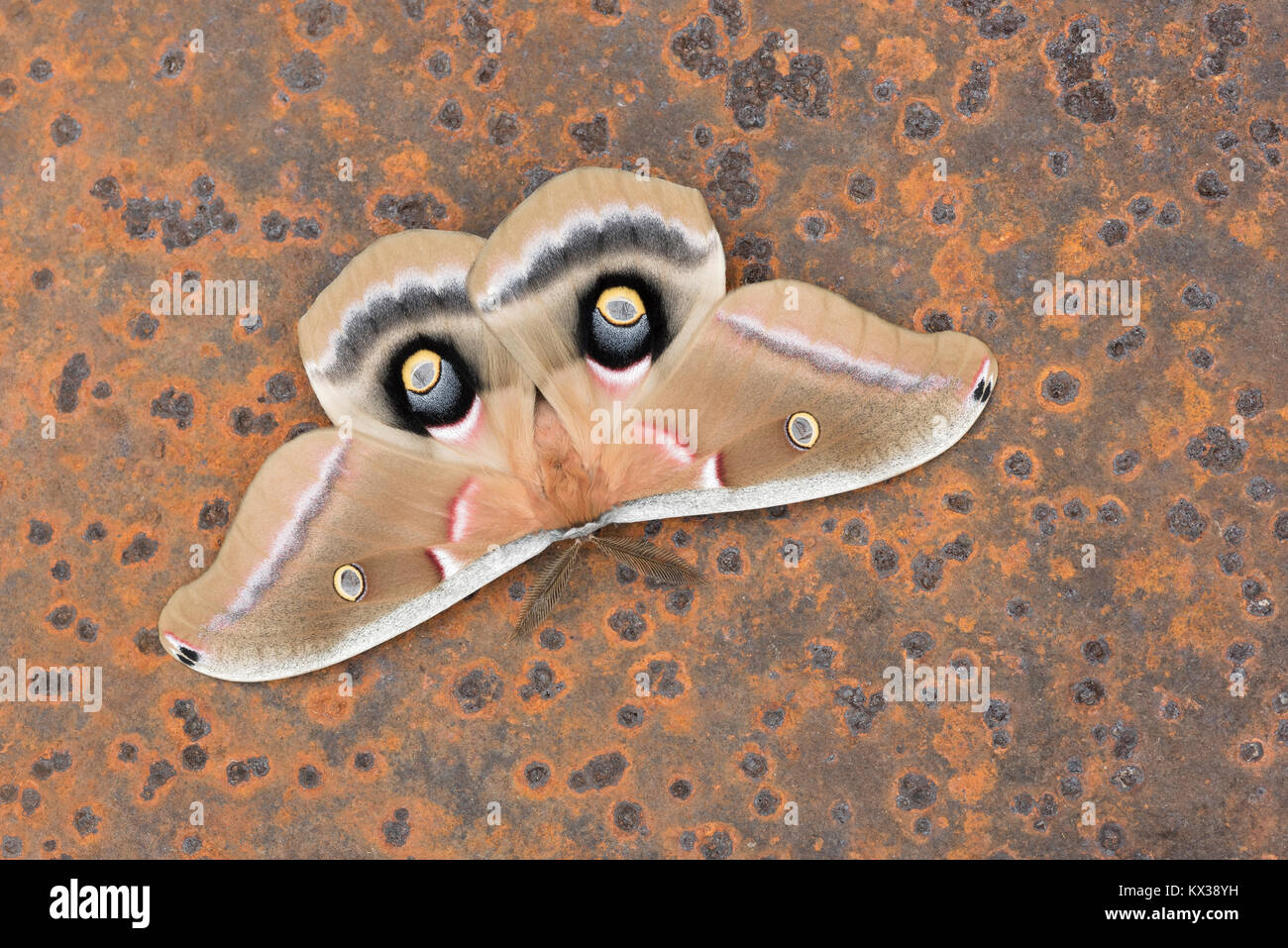 Polyphemus Moth in startle display mode on rusted old sawmill blade abandoned in forest. Dauphin County, Pennsylvania, - Stock Image