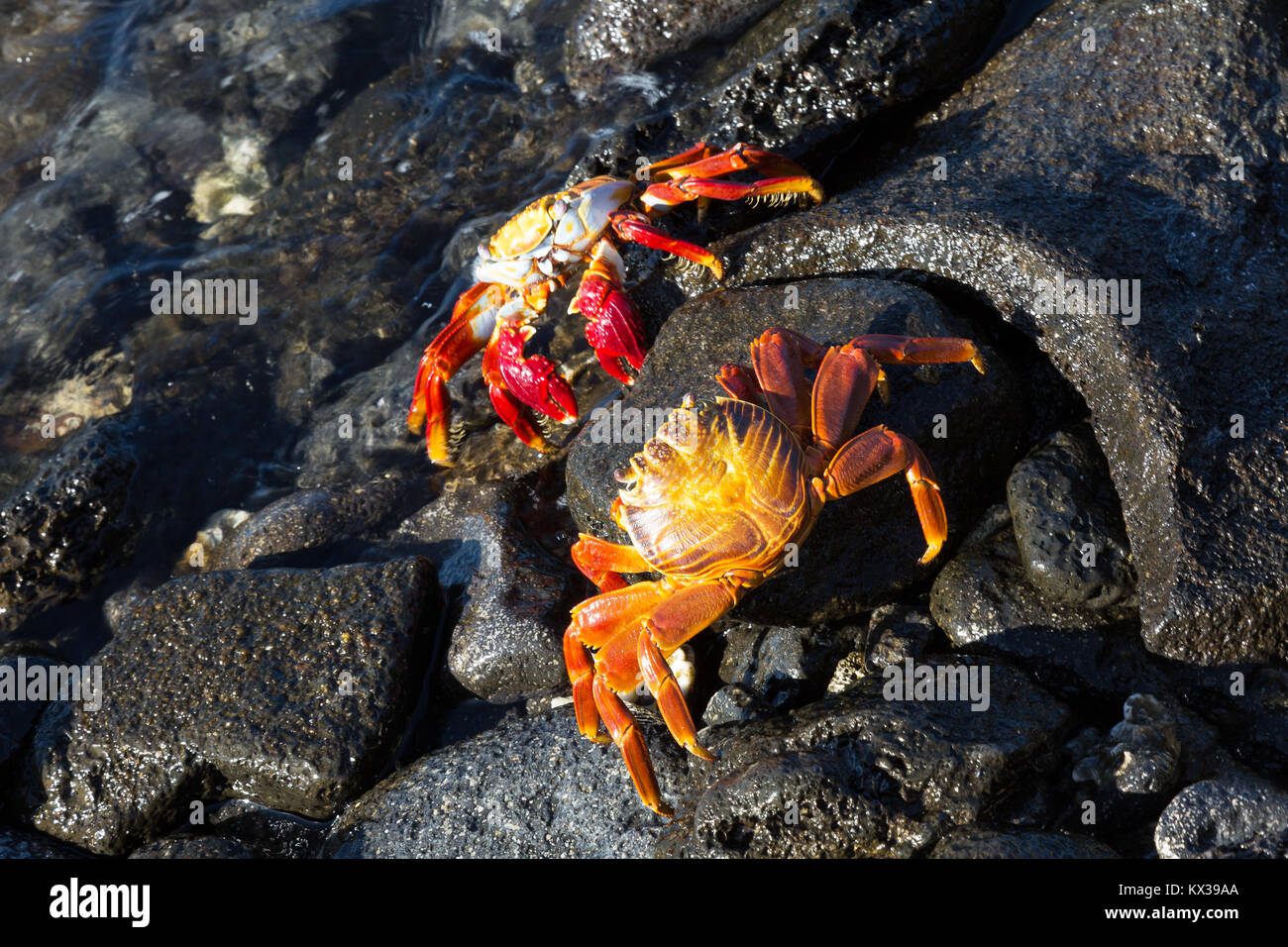Sally Lightfoot Crabs ( Grapsus grapsus ), Chinese Hat Island, Galapagos Islands Ecuador South America - Stock Image