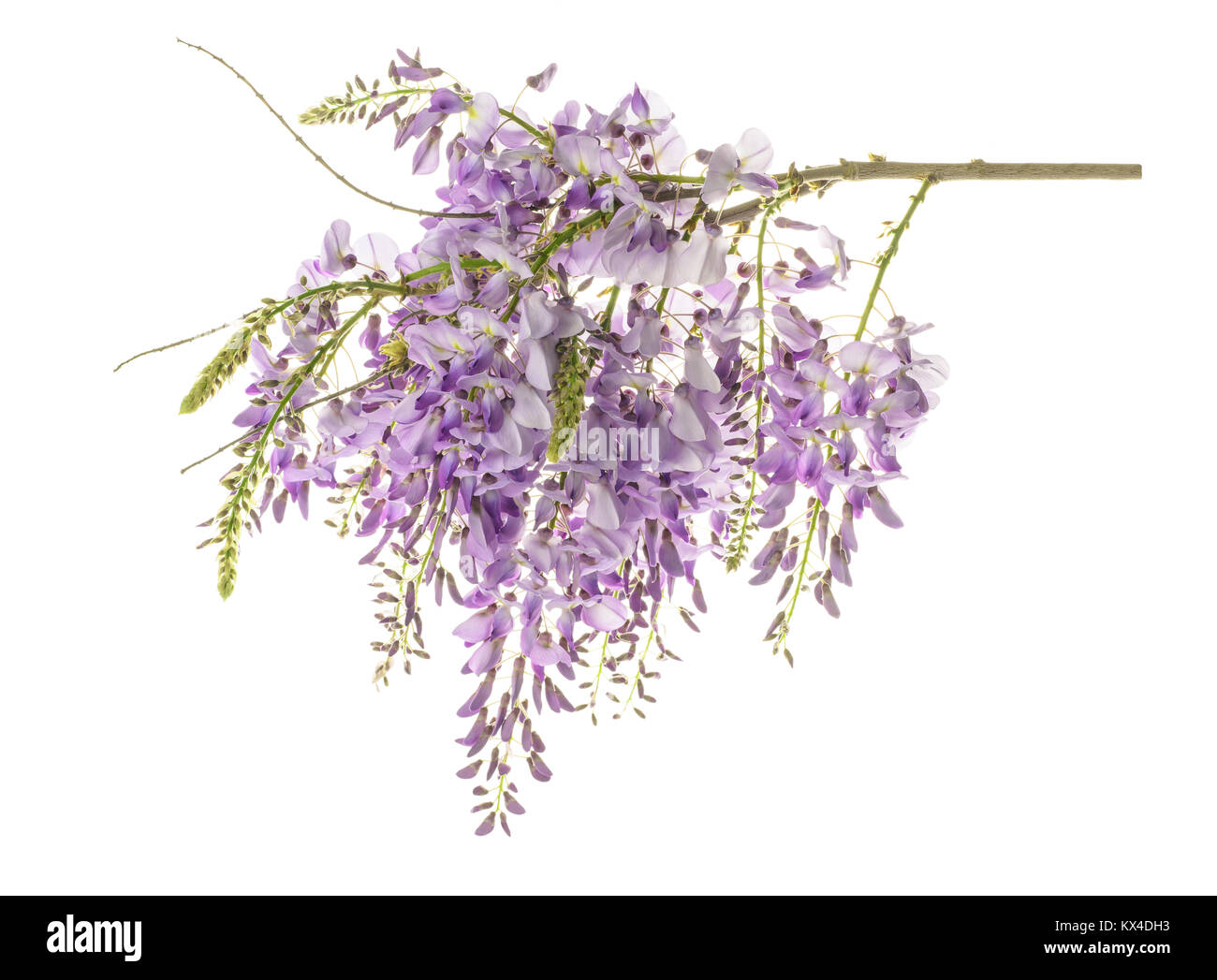 wisteria flowers isolated on white - Stock Image