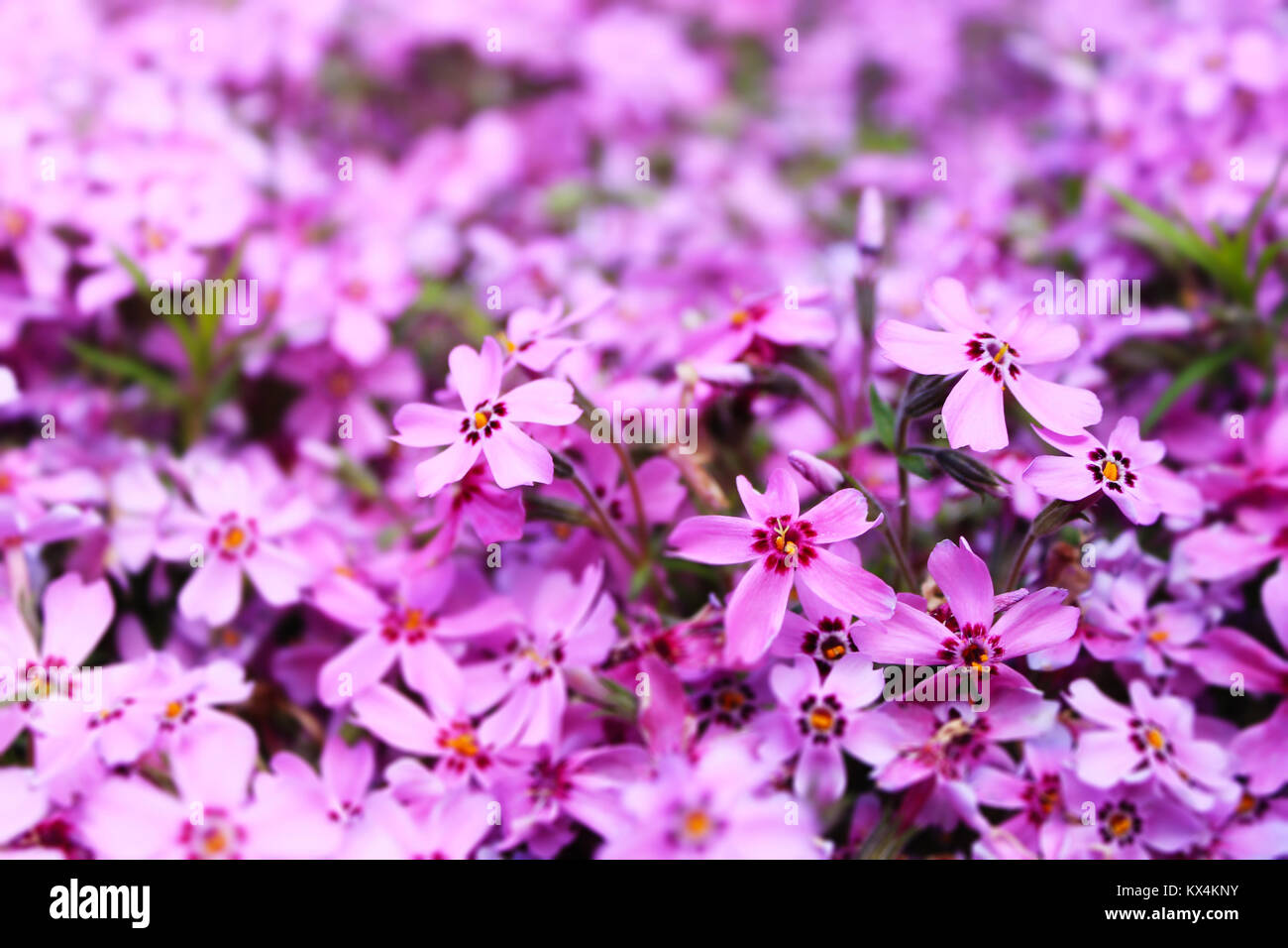blurred background violet small flowers - Stock Image