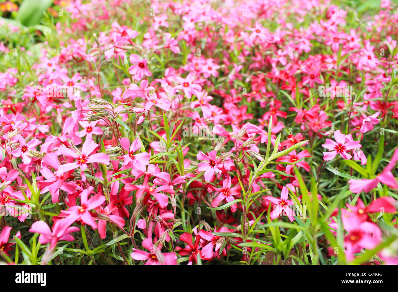 blurred background of small pink flowers with leaves - Stock Image
