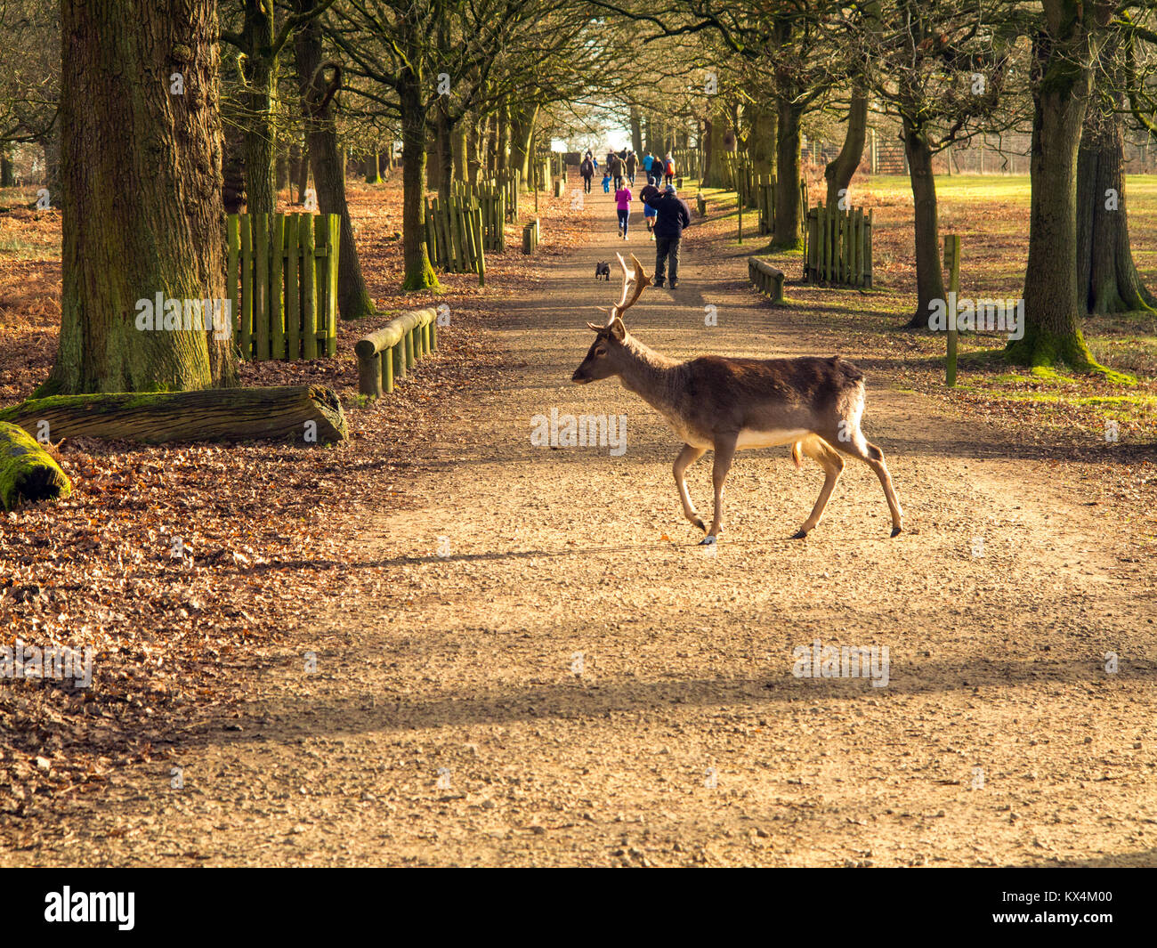 Deer crossing a woodland path in winter in front of visitors in the parkland at the National Trust property of Dunham - Stock Image