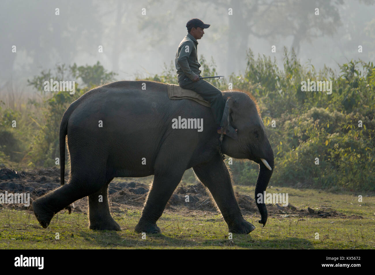 Mahout rides young elephant at breeding centre in Sauraha, Nepal - Stock Image