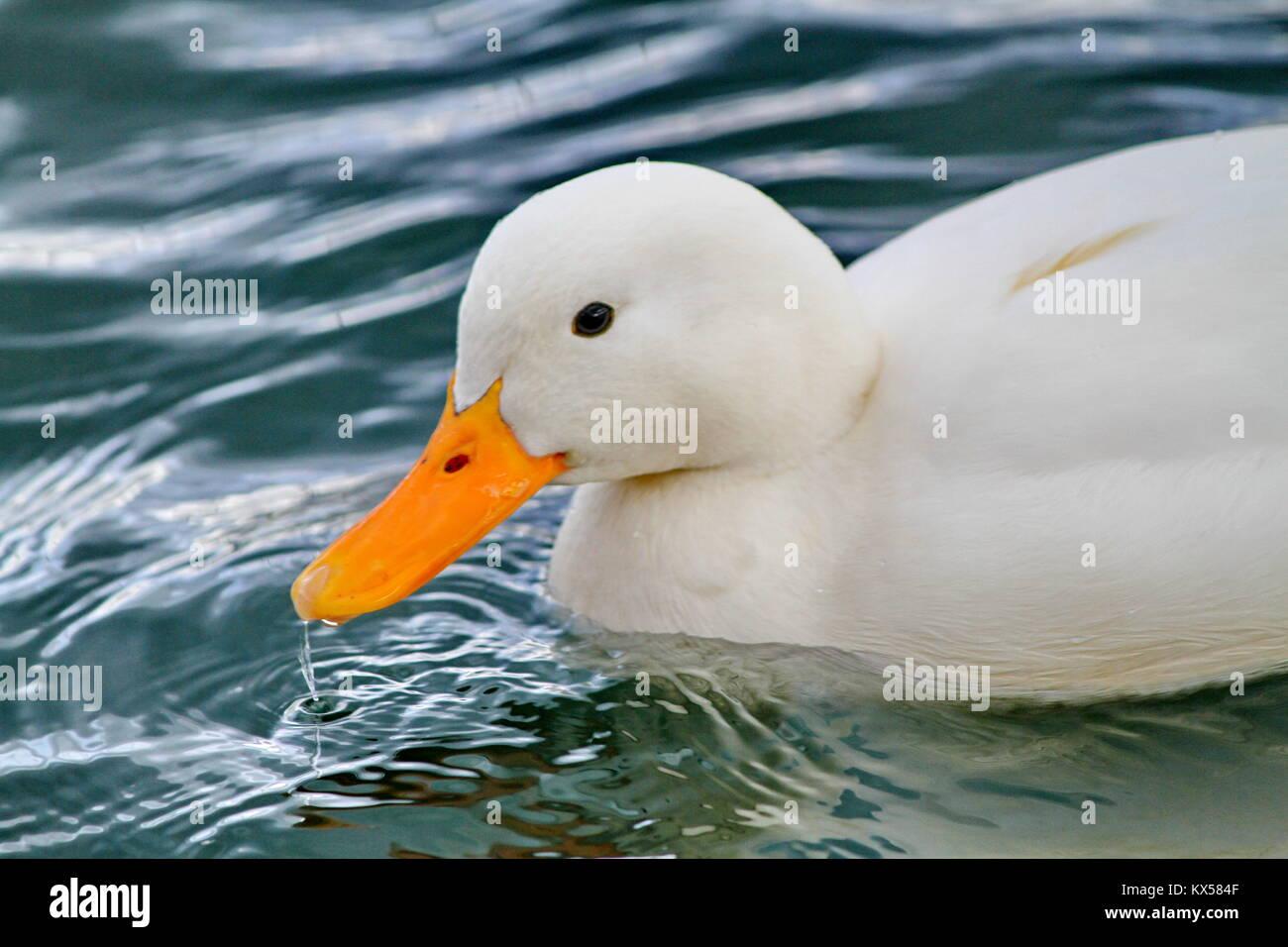 Peking duck on the water eating - Stock Image