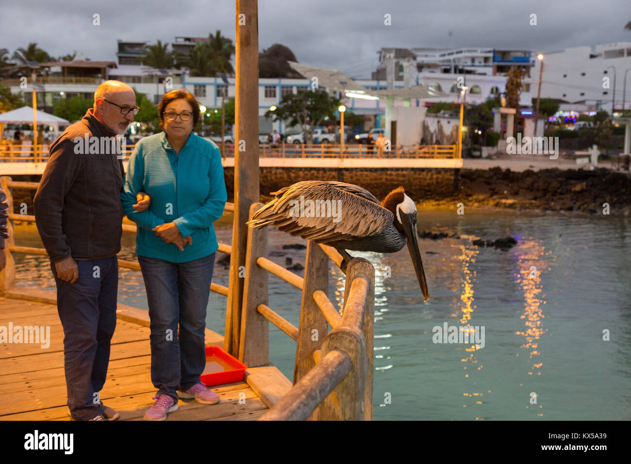 Galapagos Islands - a tourist couple looking at a brown pelican, Puerto Ayora, San Cristobal Island, Galapagos Islands - Stock Image