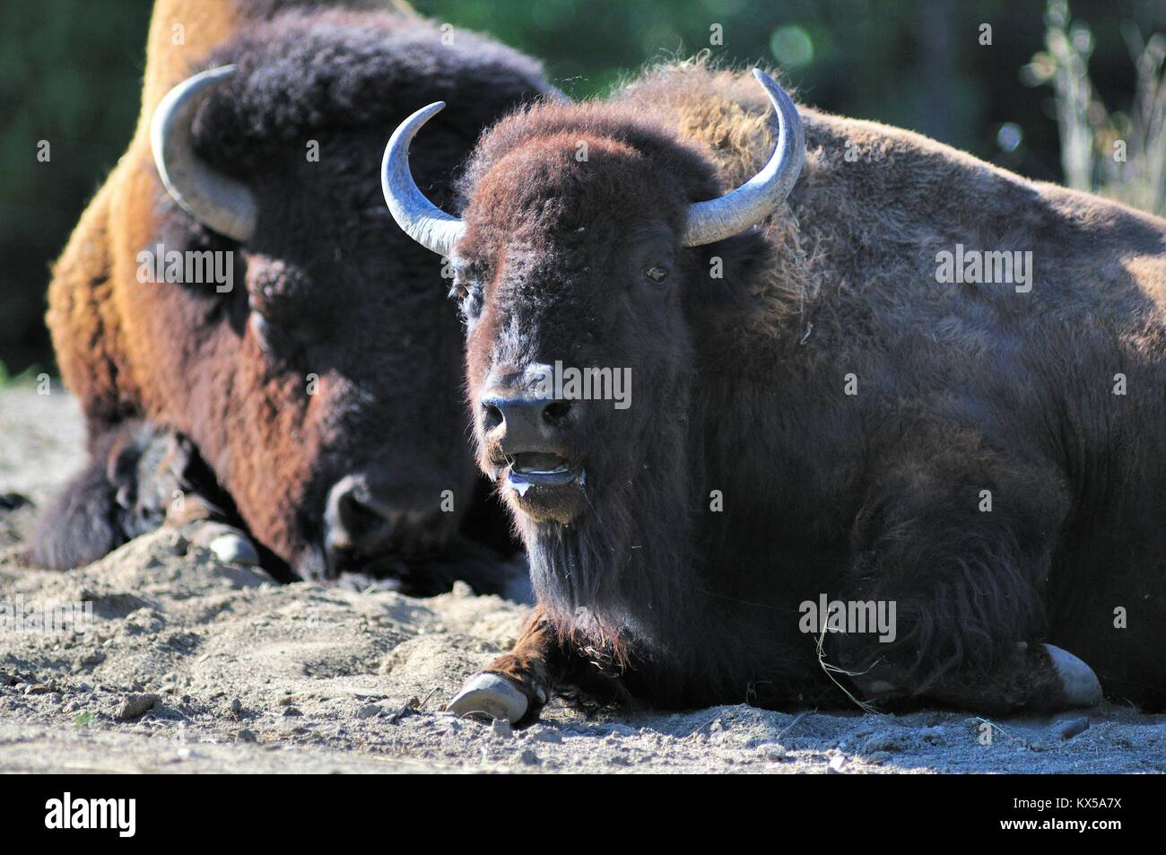 A young American bison or buffalo (Bison bison) among a small herd at Brookfield Zoo near Chicago. Brookfield, Illinois, Stock Photo