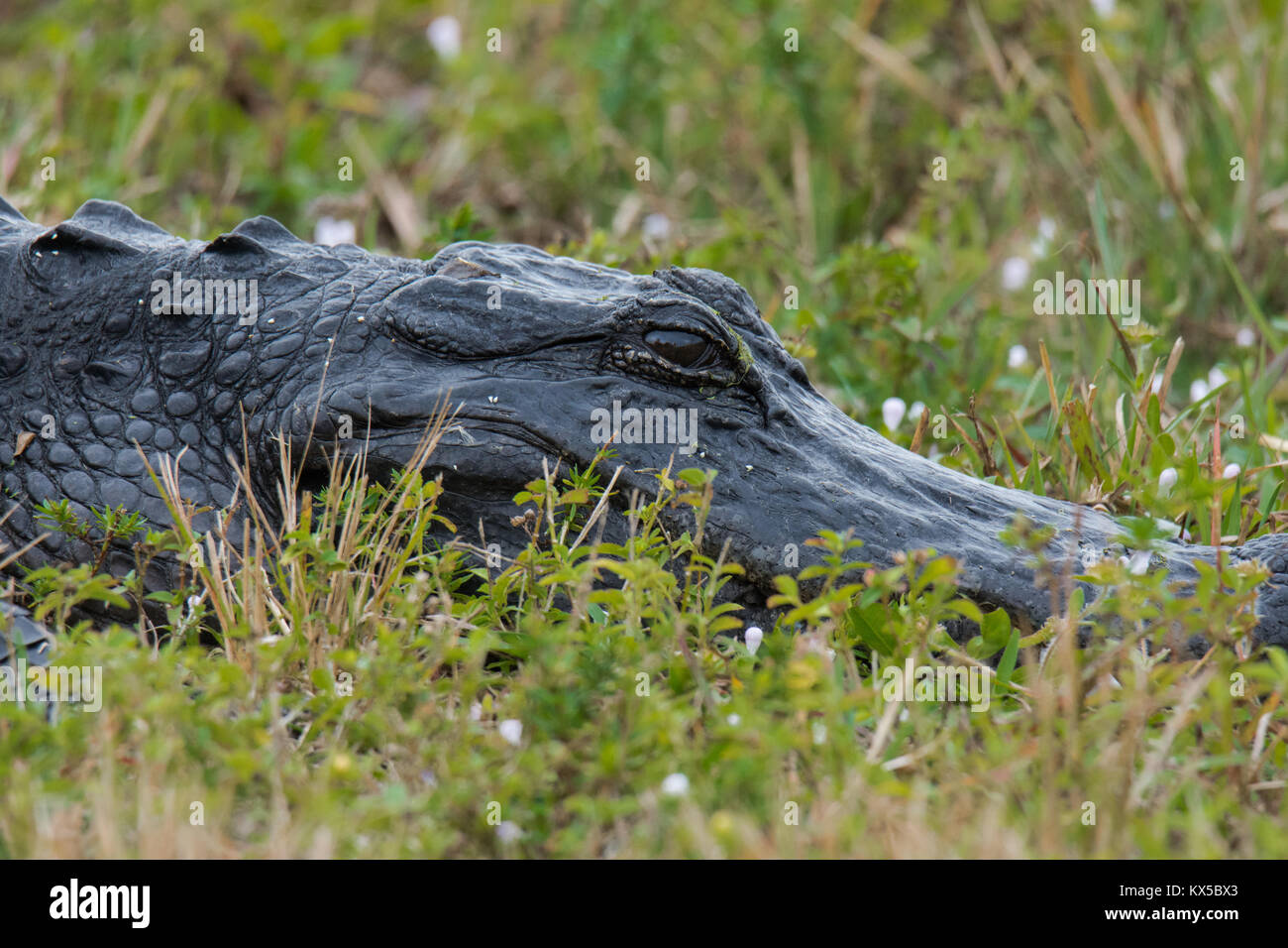 Alligator close-up in the grass - Stock Image
