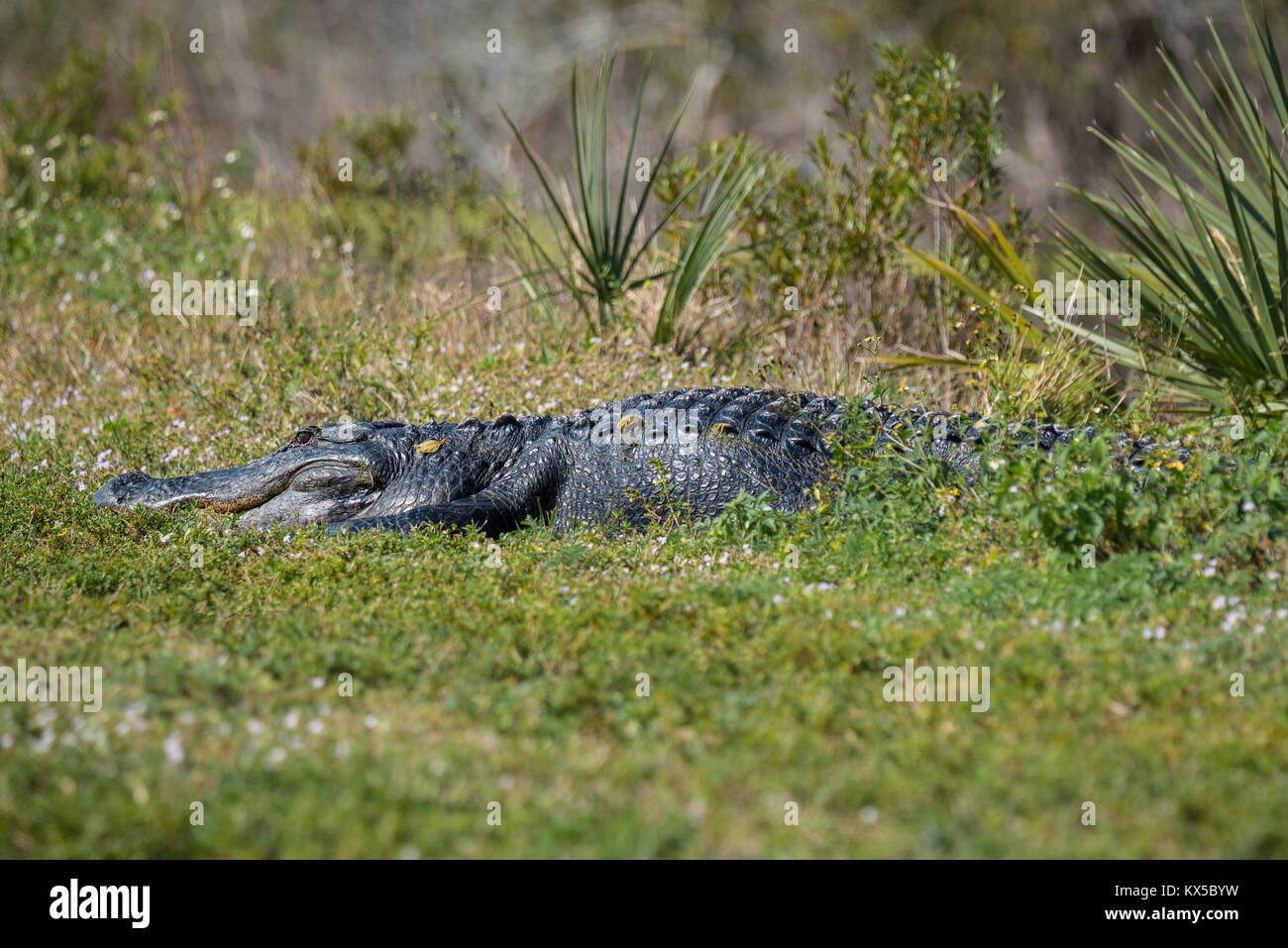 Alligator waiting in the grass - Stock Image