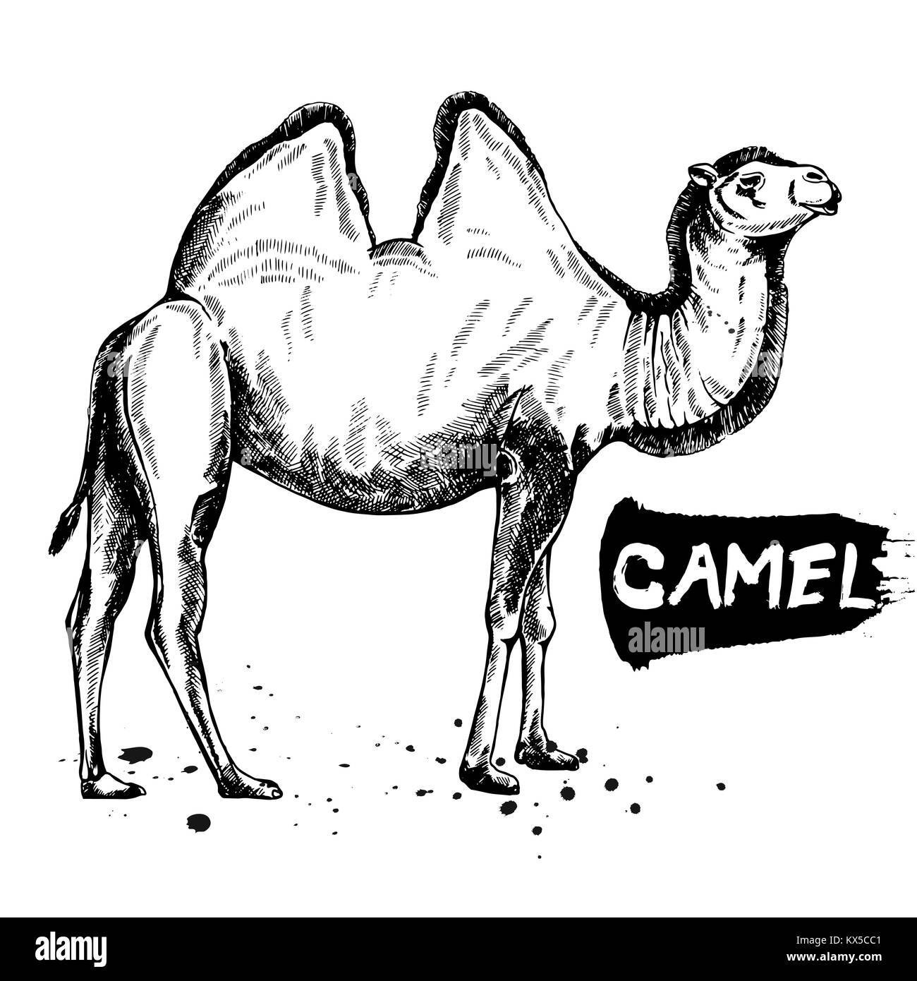 Hand drawn sketch style camel. Vector illustration isolated on white background. - Stock Vector