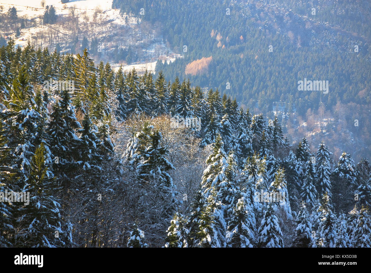 Winter landscape with a snowy firs forest, Vosges, France. - Stock Image
