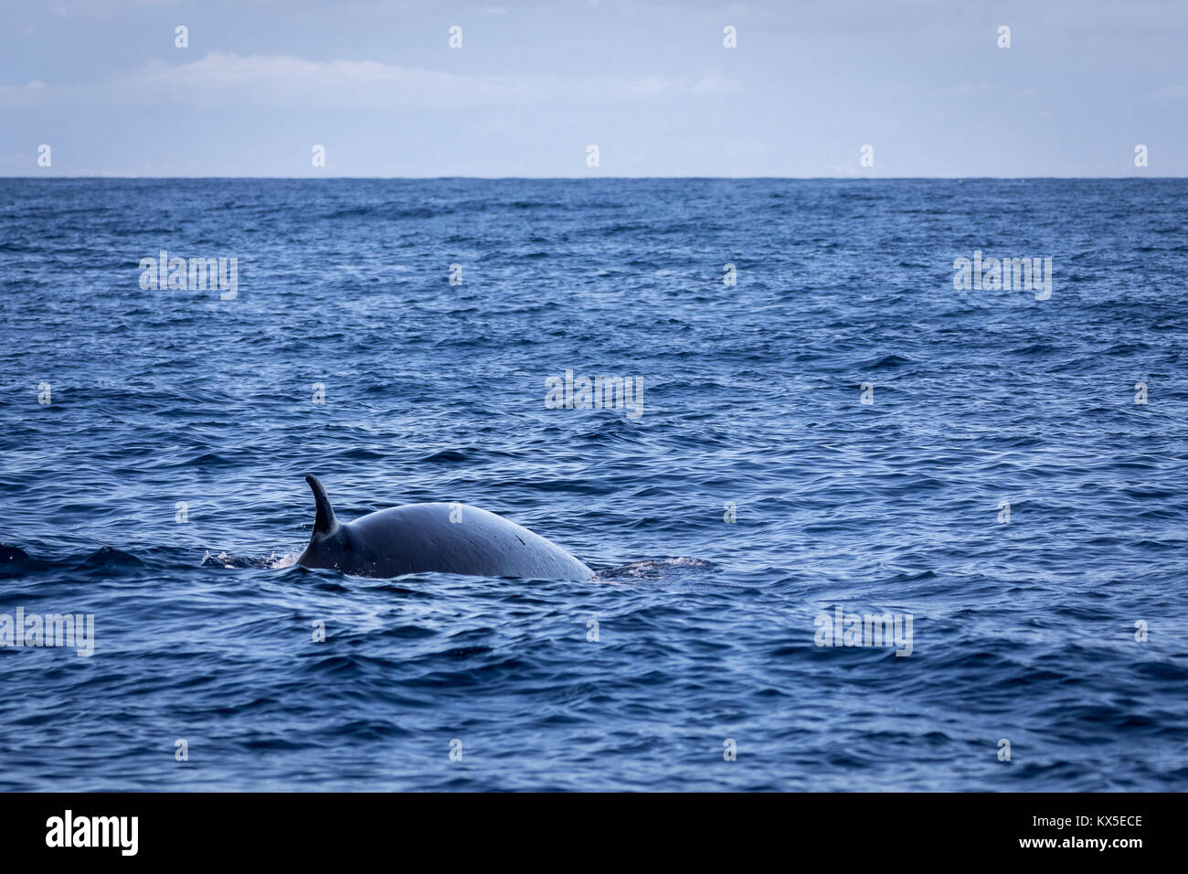 Brydes whale, Balaenoptera brydei,showing its dorsal fin in the Atlantic ocean near Gran Canaria. - Stock Image