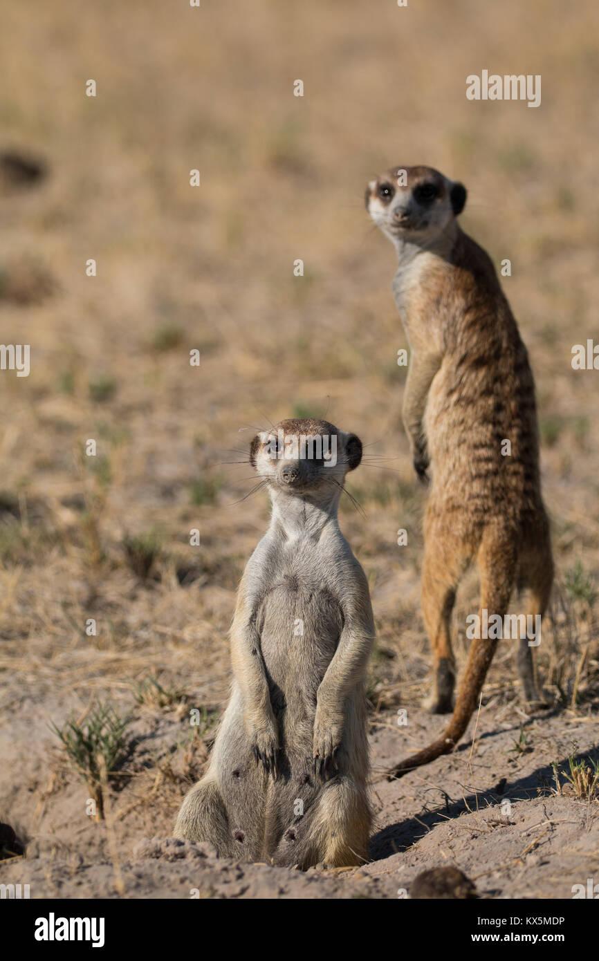 Meerkat in the Kalahari - Stock Image