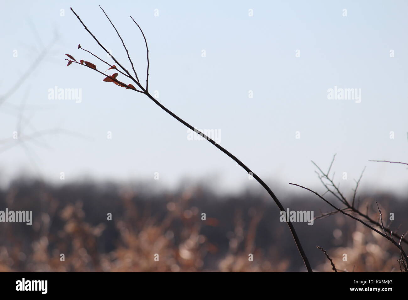 A dead plant with a blue sky in the background - Stock Image
