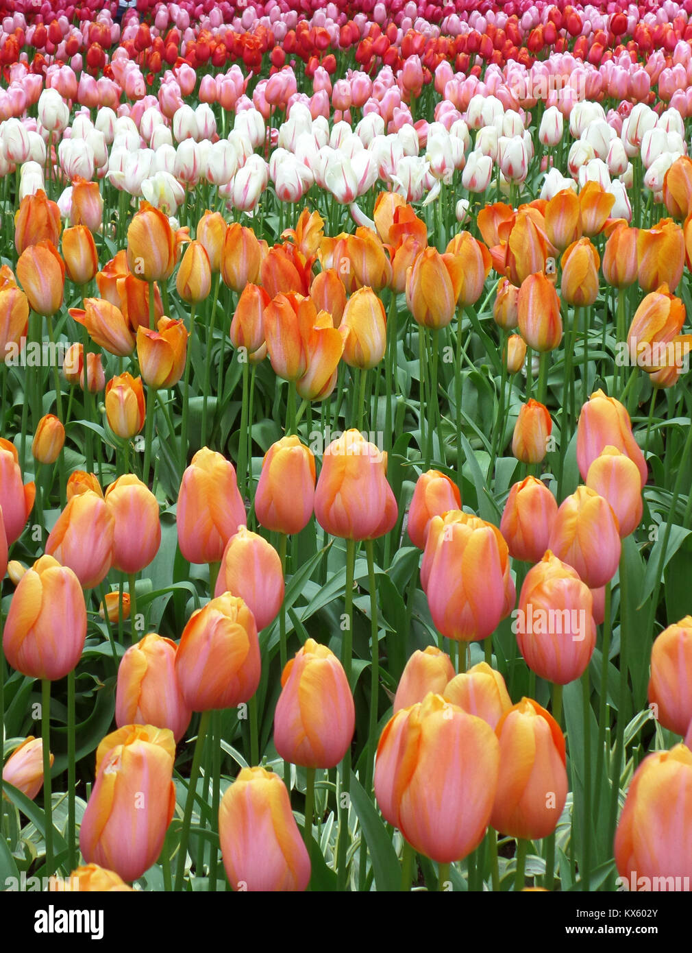 Blooming Colorful Two-Tone Tulip Flowers Field in Keukenhof, The Netherlands - Stock Image