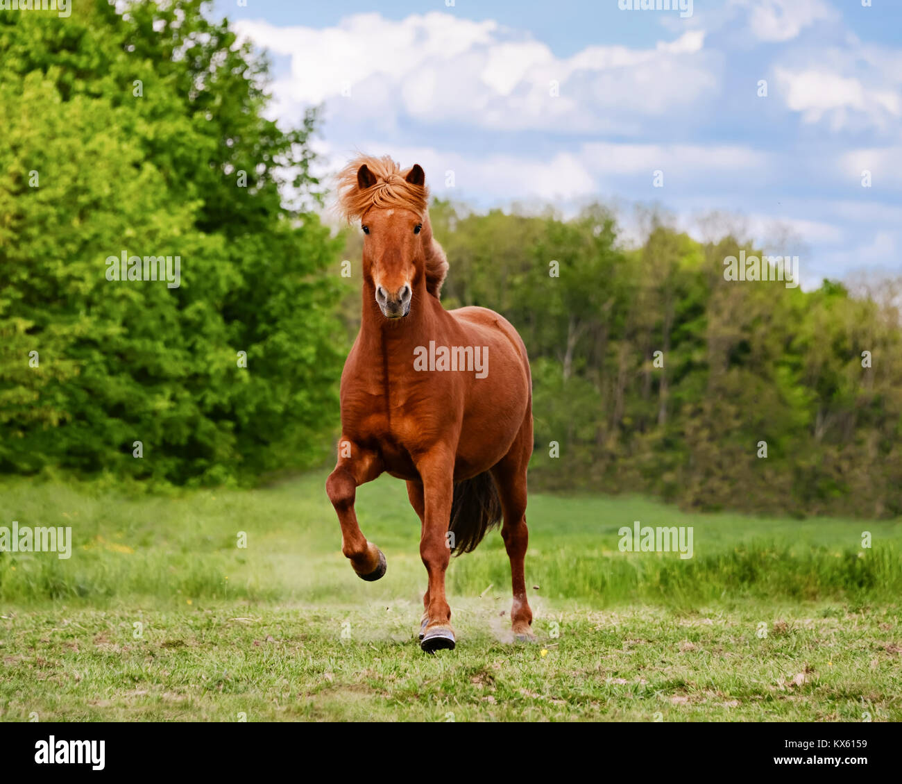 An icelandic horse runs at a tölt across a meadow, toelt is an unique natural gait of this horse breed,Germany. - Stock Image
