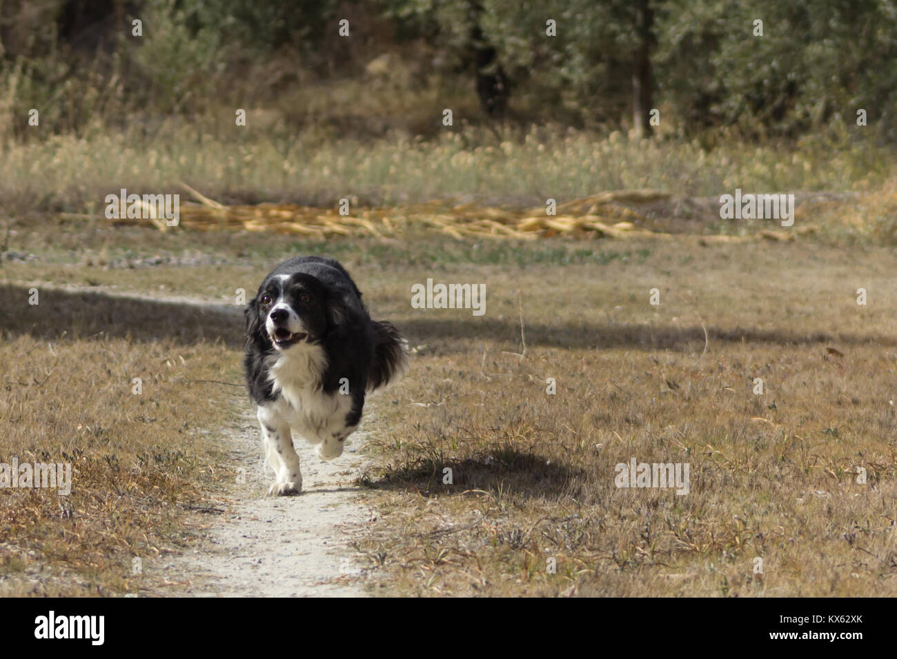 Canis lupus familiaris, Dog Cross Breed, adult female taken in November 2017 in Andalucia Spain, - Stock Image
