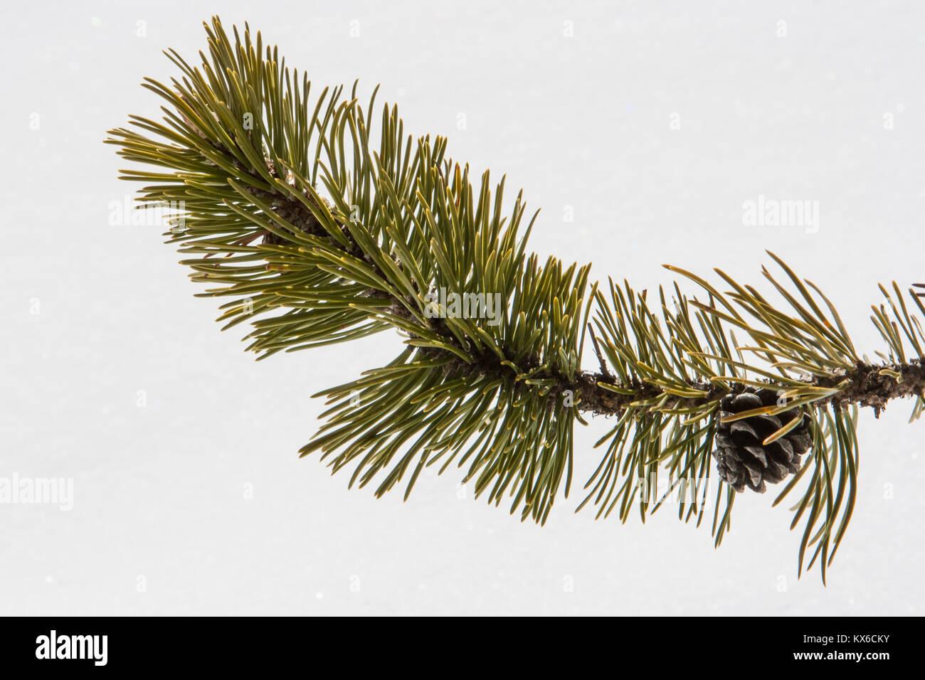 Detail Of A Pino Mugo(mountain Pine) Branch, Cortina Du0027Ampezzo,