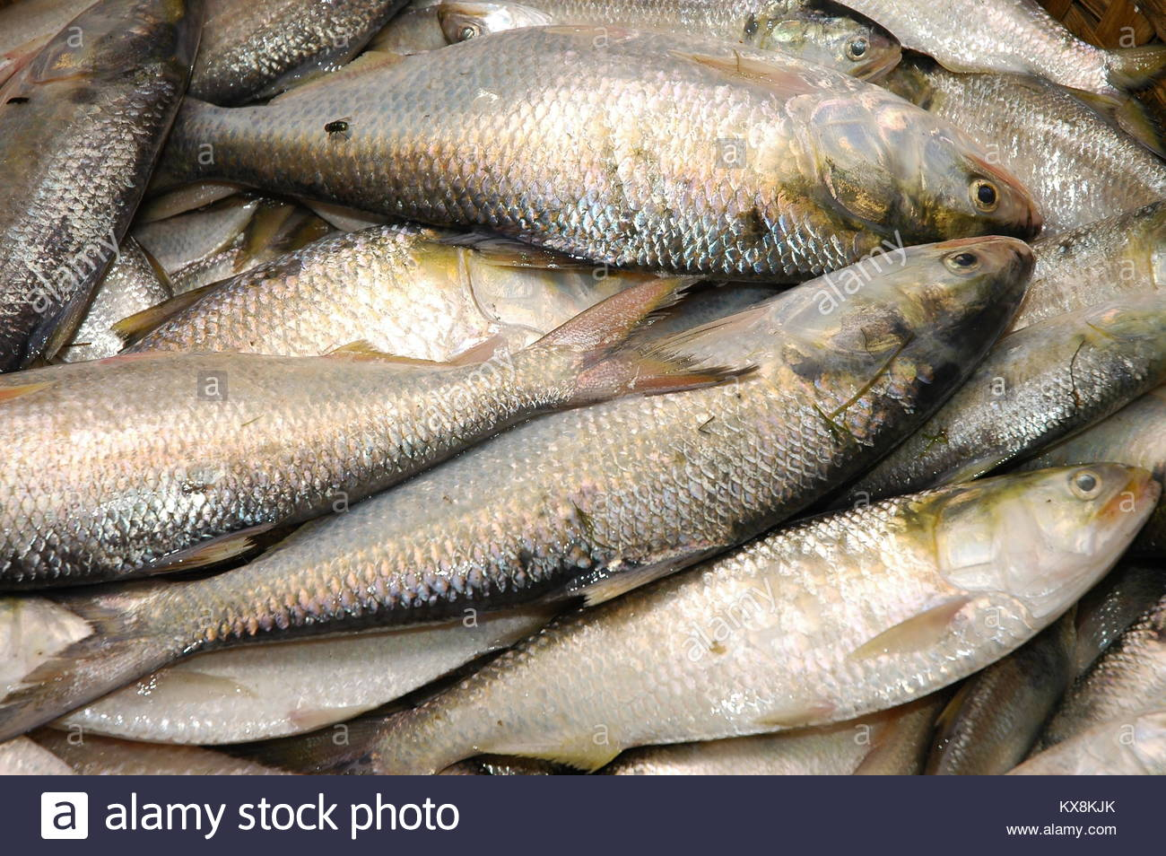 Bangladesh's national fish Ilish is a very popular fish in South Asia, Chandpur, Chittagong, Bangladesh - Stock Image
