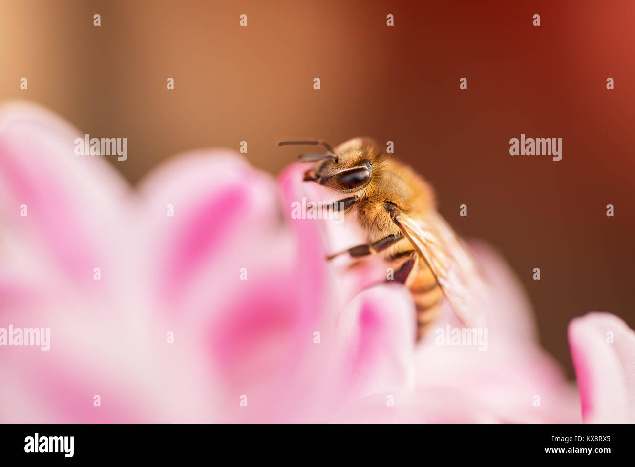 honey bee collecting nectar from a flower - Stock Image