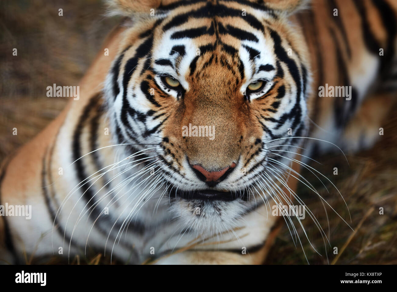 Tiger, portrait of a tiger - Stock Image