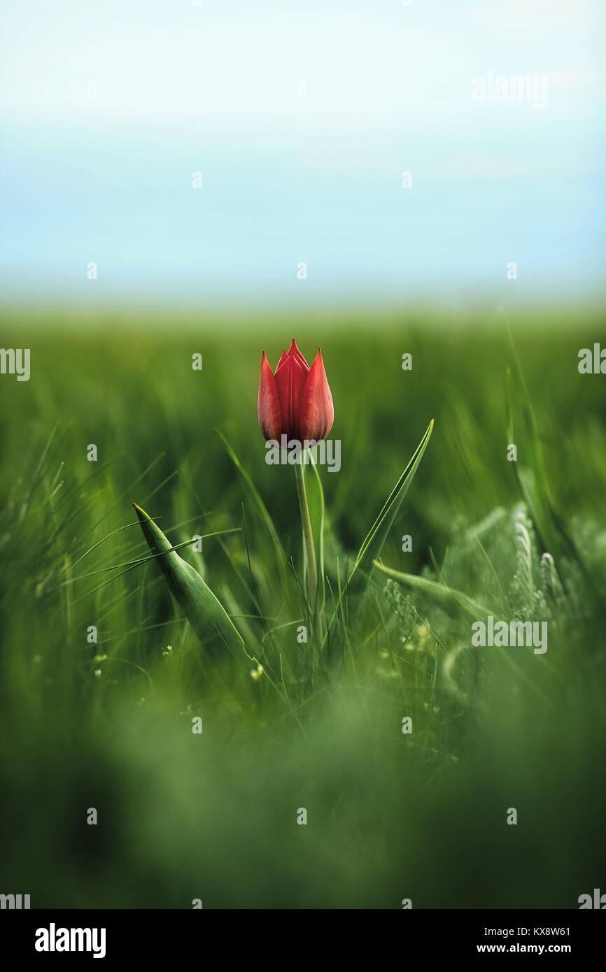 Spring flowers tulips in the steppe. Red tulip. Тulipa gesneriana (T. schrenkii Regel)) - Stock Image