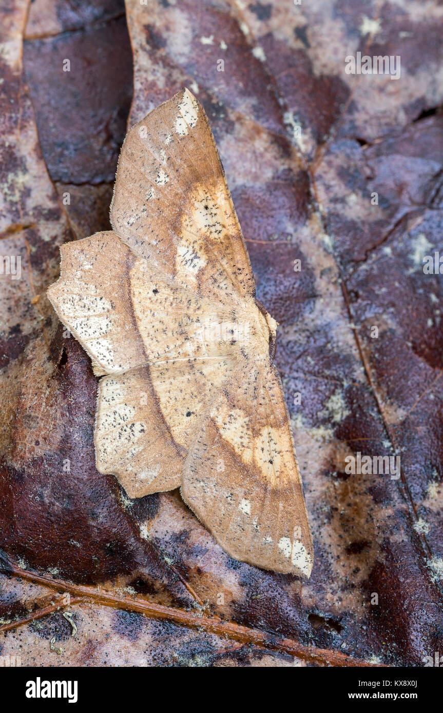 Deep Yellow Euchlaena Moth resting on oak leaves on the forest floor in Congaree Bluffs Heritage Preserve.  South - Stock Image