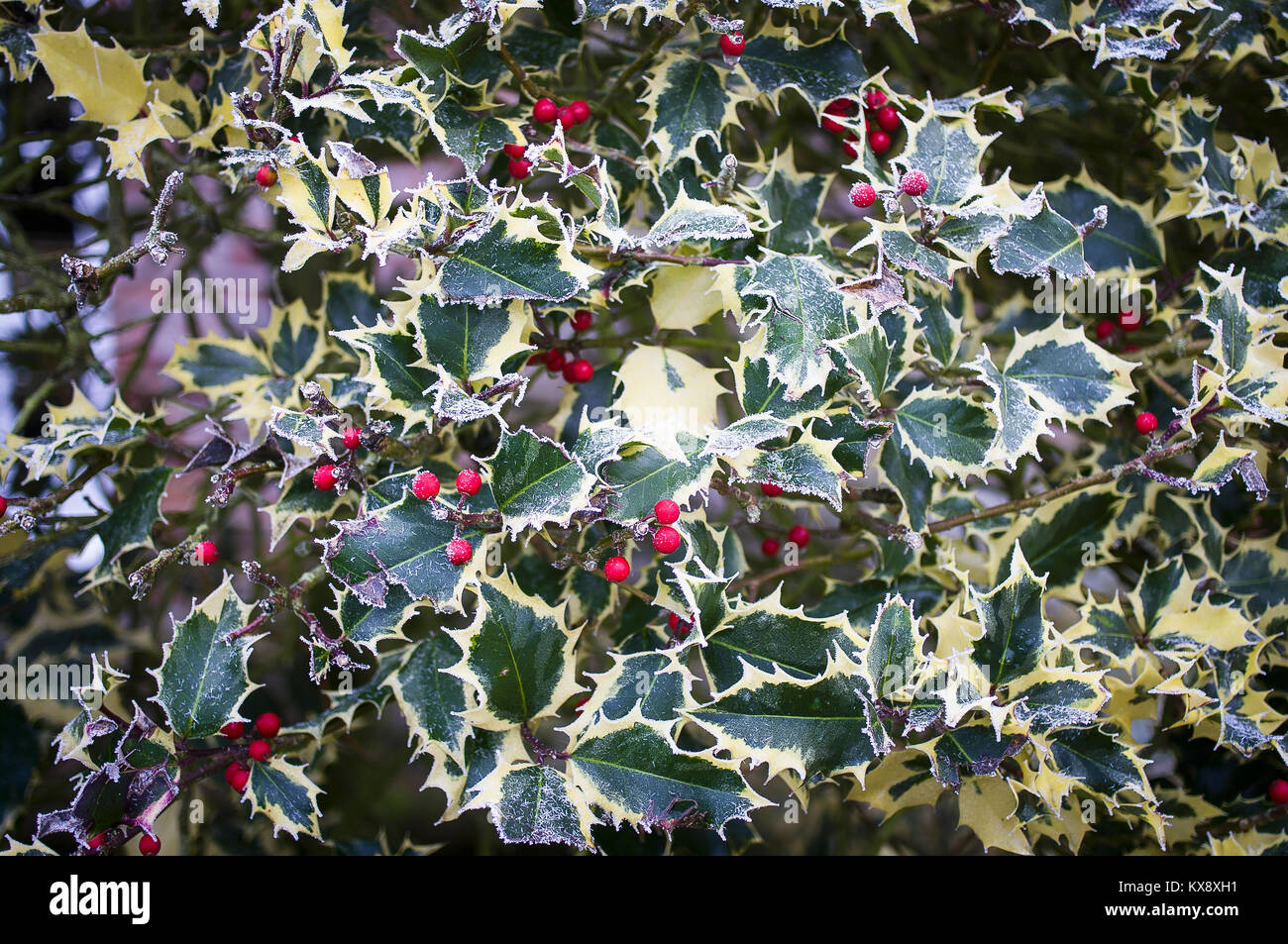 Frosted variegated holly with red berries in winter - Stock Image