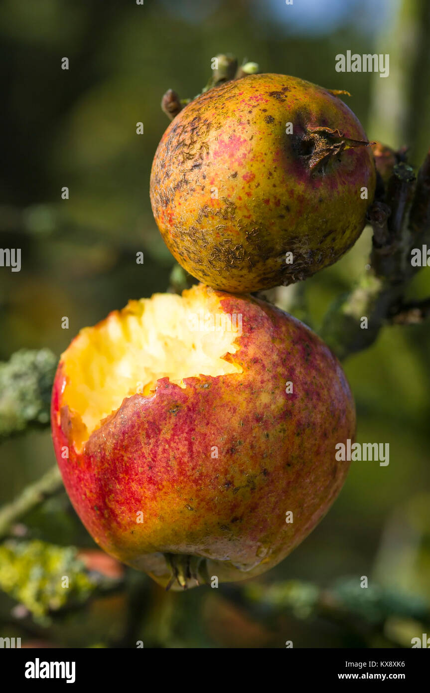 Already natural food for wildlife. Apples left on a tree in winter partly eaten by wild birds in UK - Stock Image