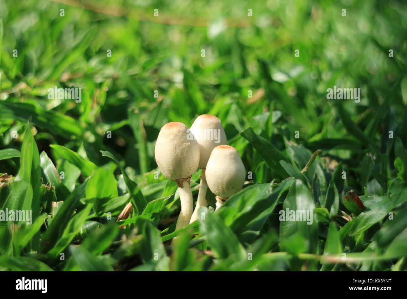 Closed up three little wild white mushrooms growing together on vibrant green grass in the sunlight, Thailand Stock Photo