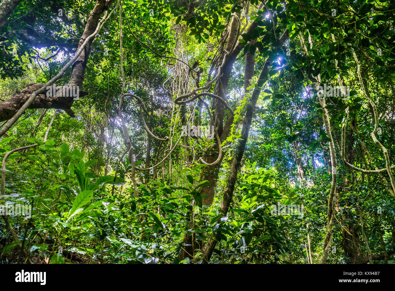 Norfolk Island, Australian external territory, lush rainforest vegetation at Norfolk Island Botanical Garden - Stock Image