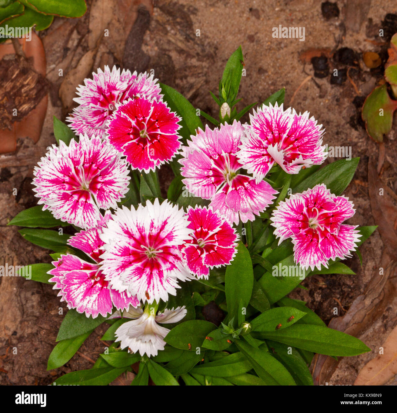 Cluster of colourful perfumed flowers, with streaked red / pink and white petals, of Dianthus barbatus, Sweet William, - Stock Image
