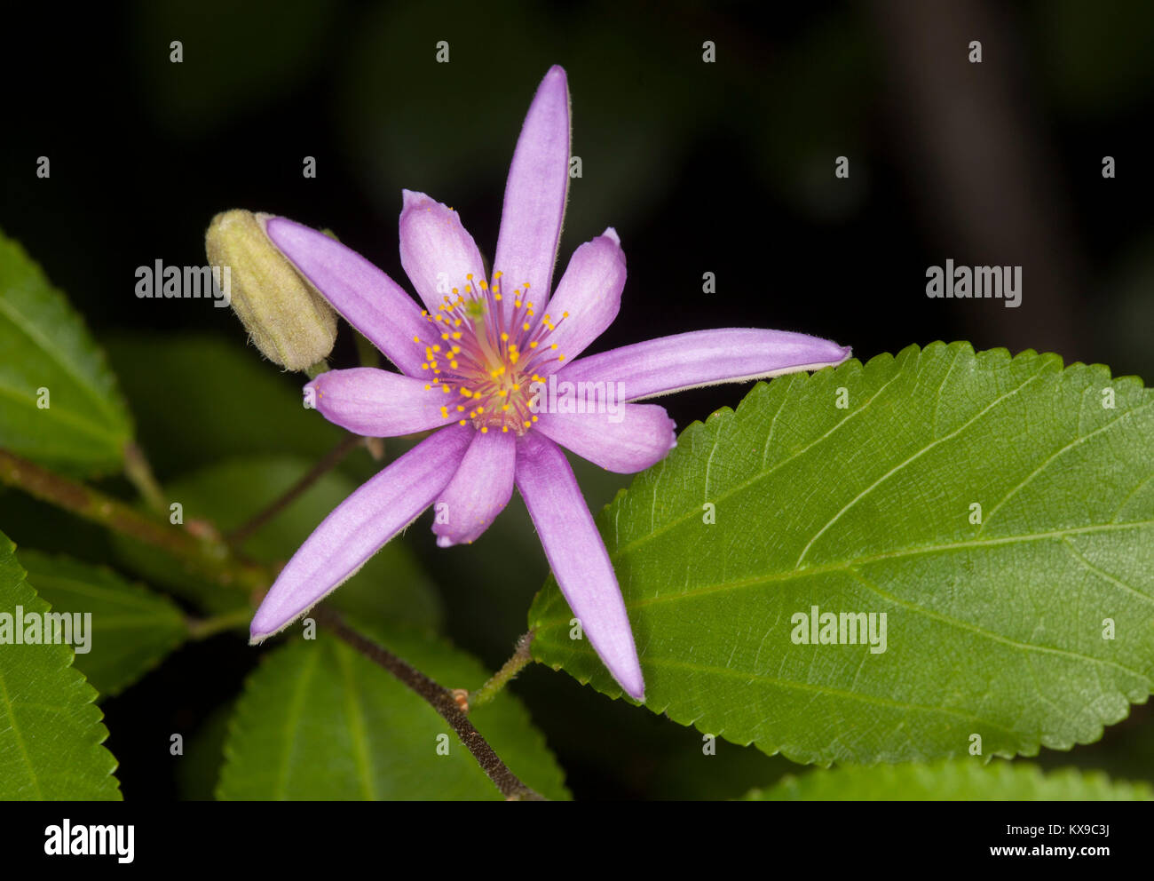 Mauve Pink Star Shaped Flower And Green Leaves Of Evergreen Shrub