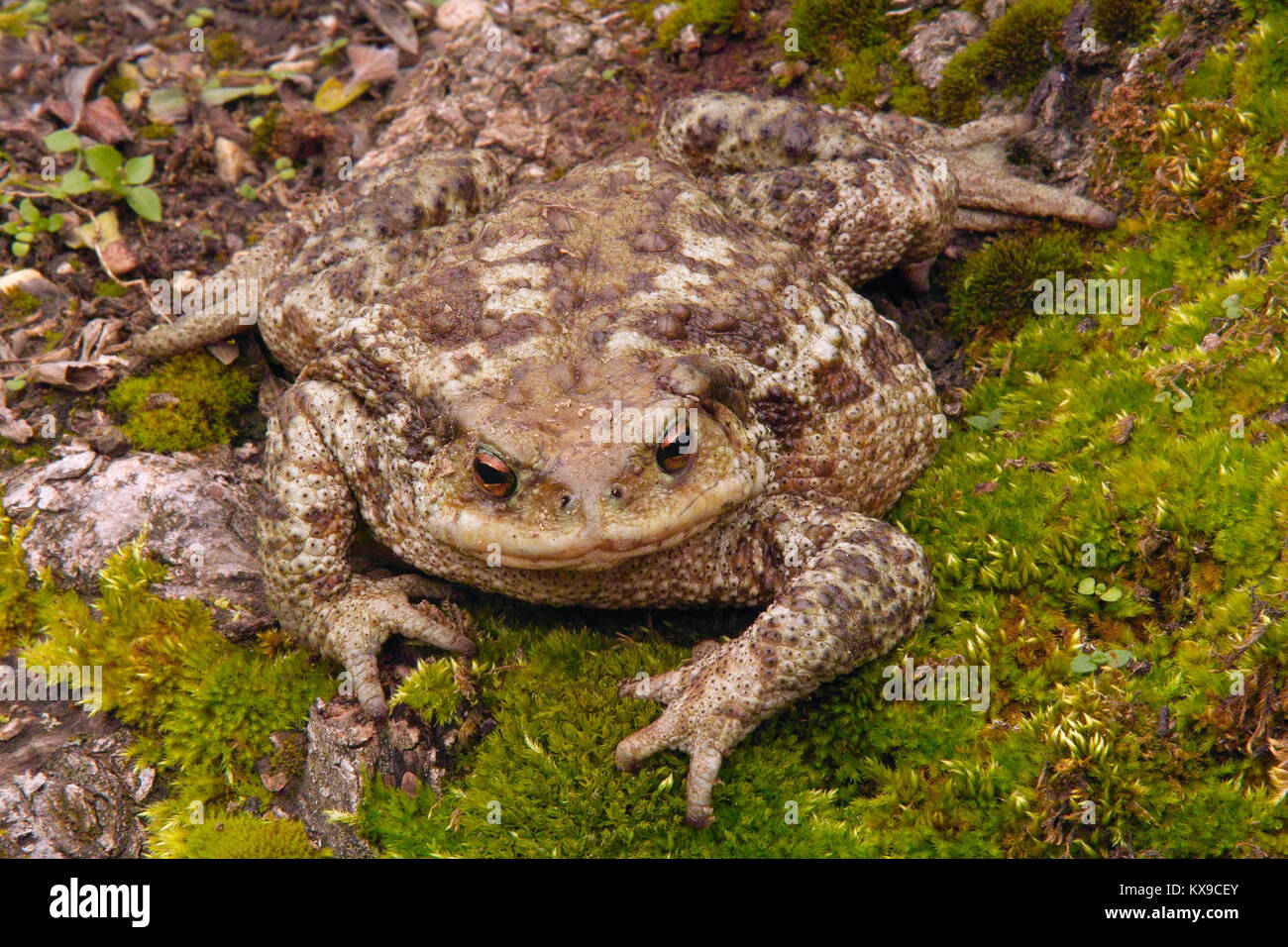 common toad seen from the front, bufo bufo, bufonidae - Stock Image