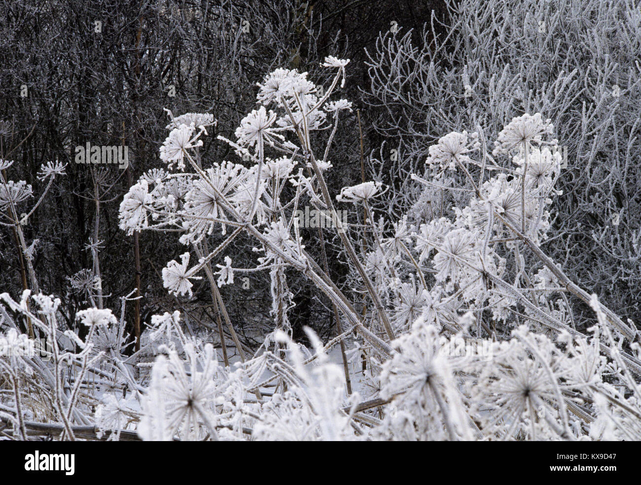 WINTER frost in summer´s remaining plants 2015 - Stock Image