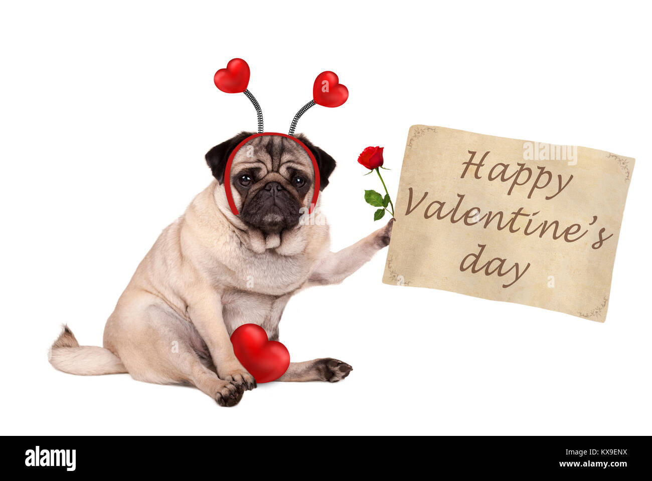 Valentine's day pug dog sitting down, holding up paper scroll, wearing diadem with hearts, isolated on white - Stock Image