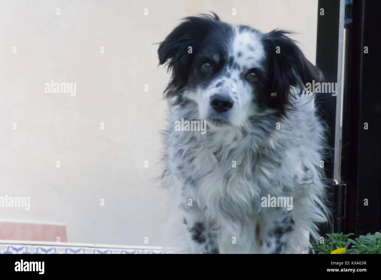 Canis lupus familiaris, Dog Springer Spaniel cross, Domestic, adult male, taken in April  2017 in Andalucia Spain, - Stock Image