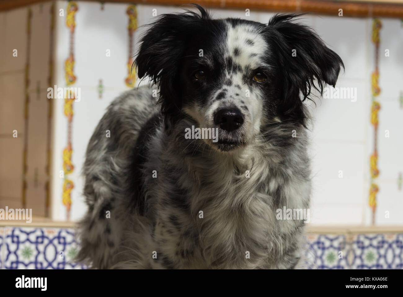 Canis lupus familiaris, Dog Springer Spaniel cross, Domestic, adult male, taken in November 2017 in Andalucia Spain, - Stock Image