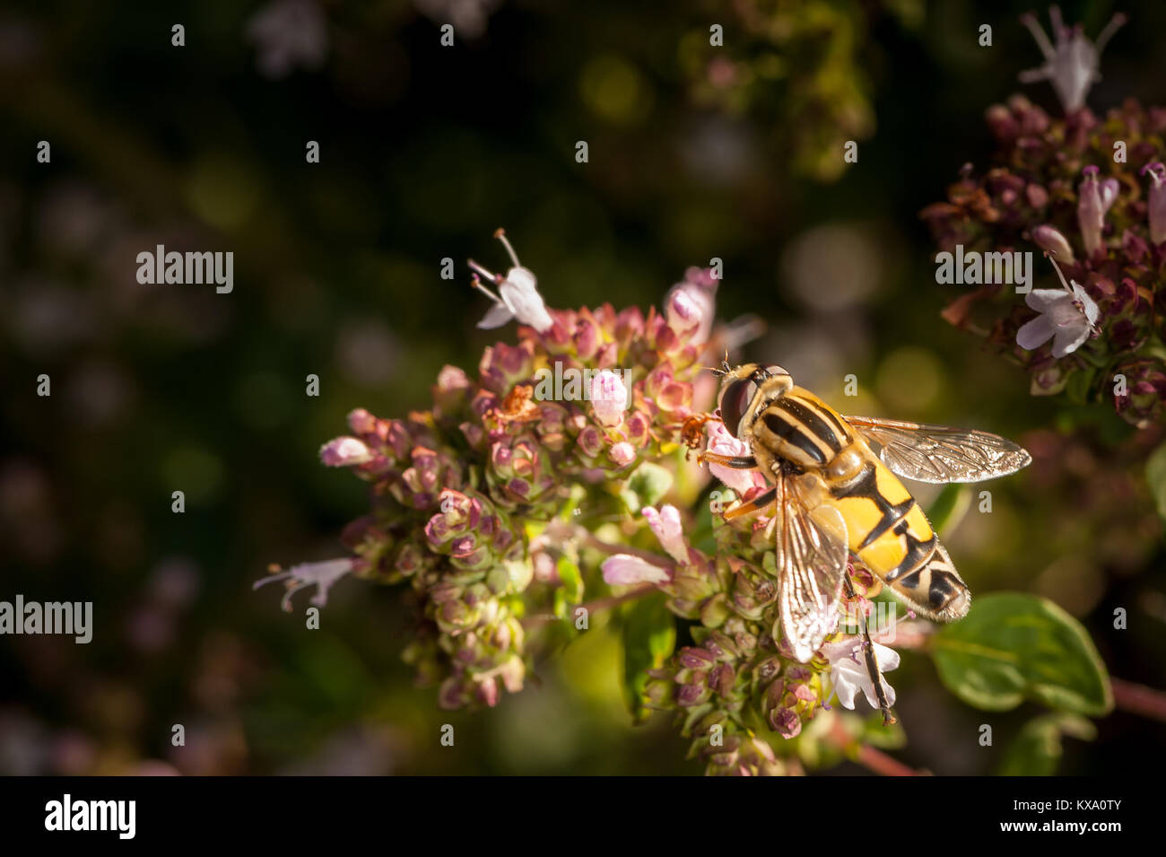 A flower fly visiting a marjoram plant (Origanum vulgare) - Stock Image