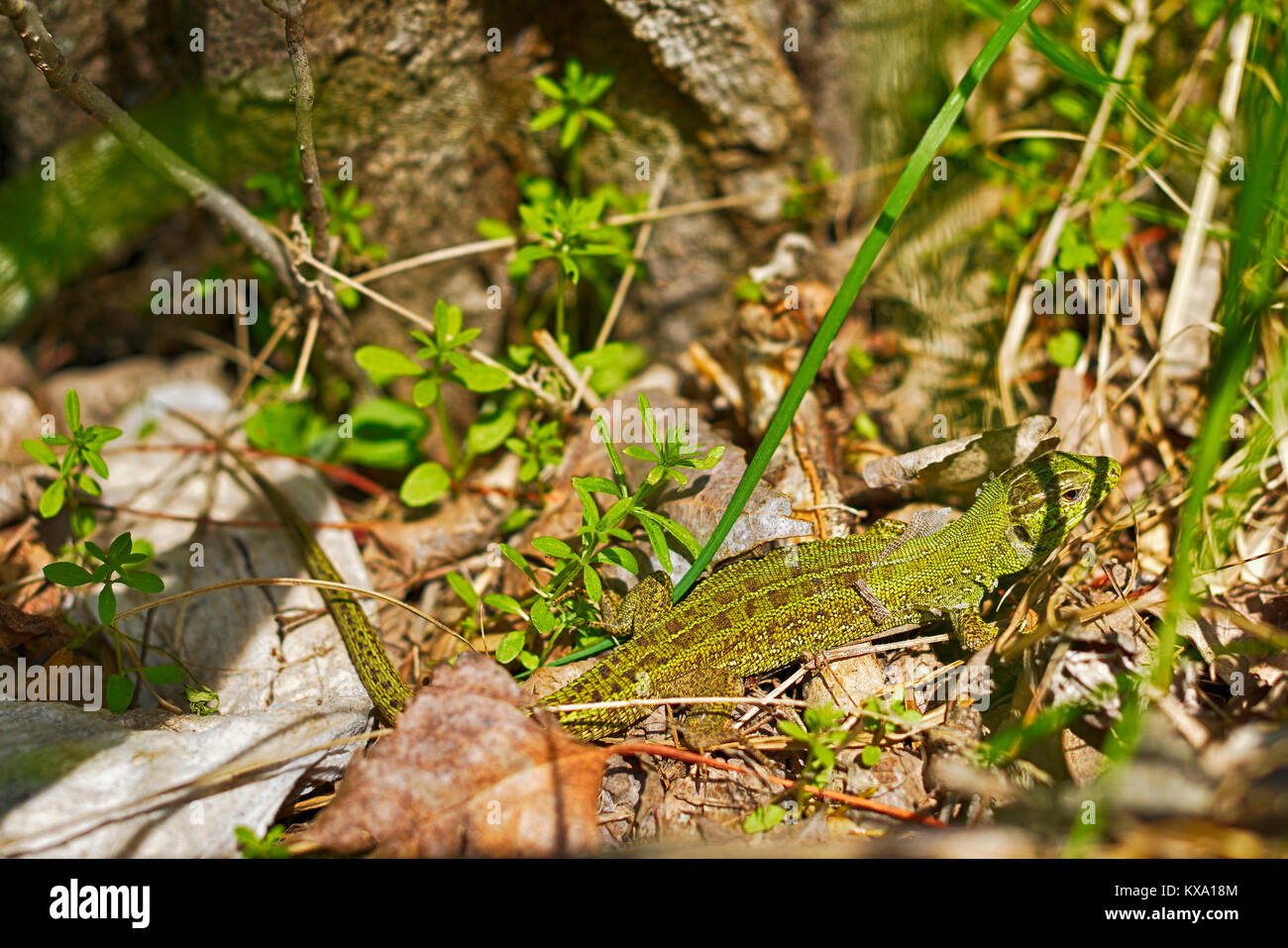 Lizard sitting in the thick green grass - Stock Image