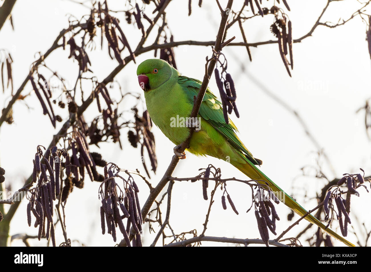 Green parrot in tree at London wetland centre. Red bill dark and light green lime coloured plumage now familiar - Stock Image