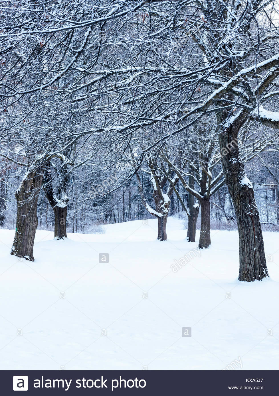 Snow covered trees after winter snowfall in Colonel Danforth Park in Toronto Ontario Canada Stock Photo