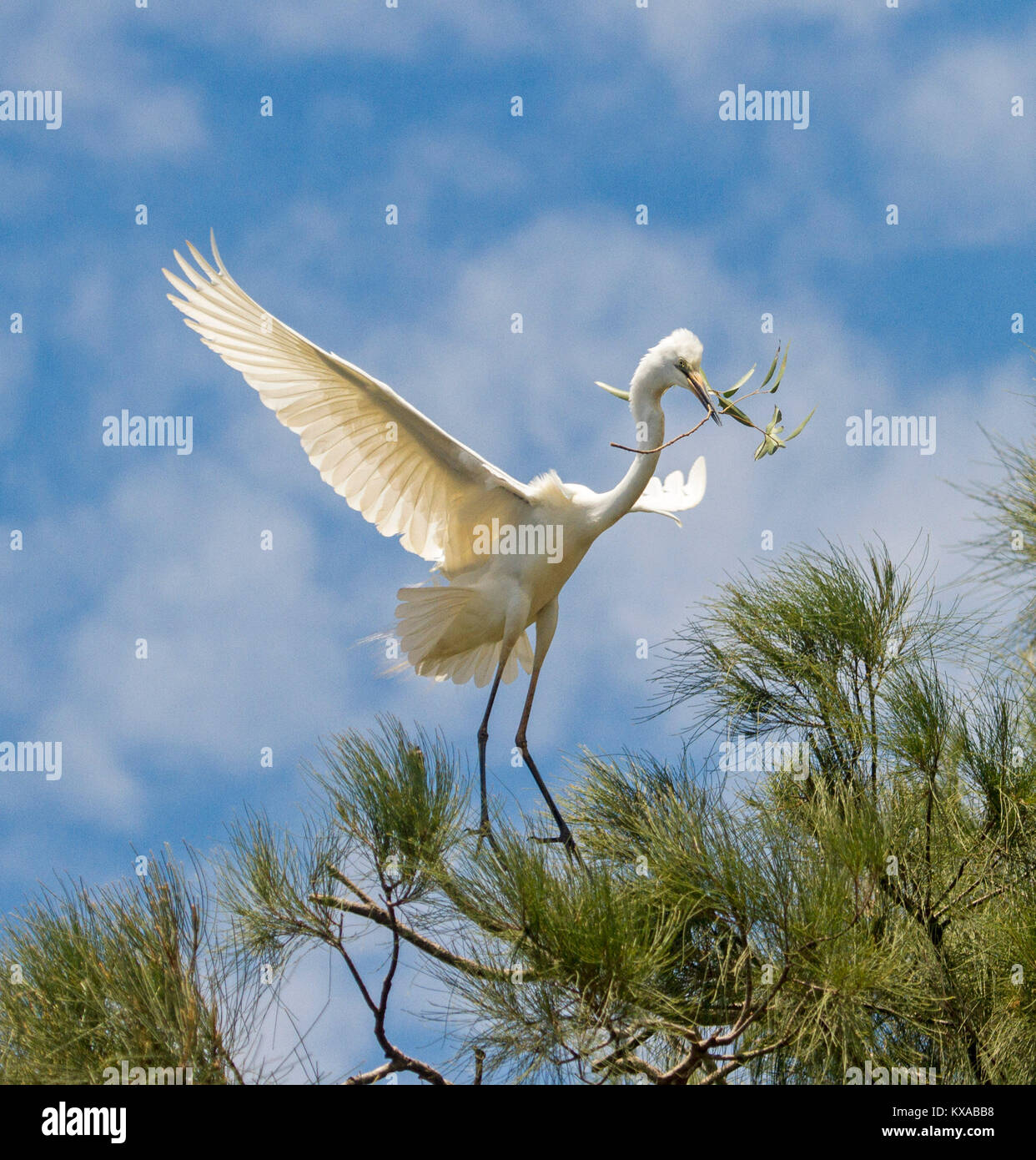 Australian plumed / intermediate egret in flight, landing in treetops with nesting material in bill, against blue Stock Photo