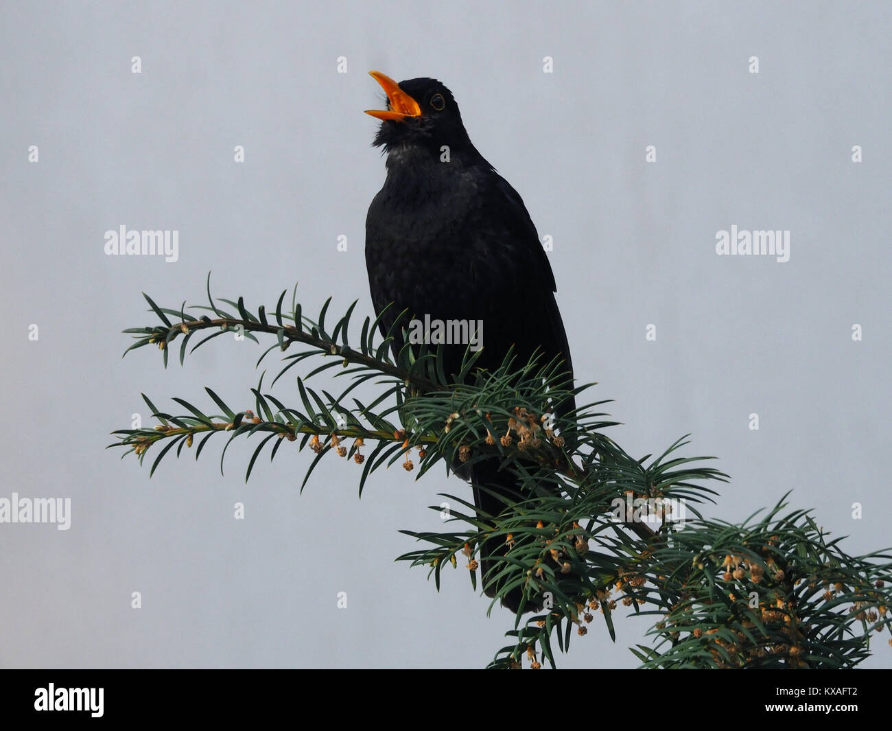 Blackbird (Turdus merula) sings with open beak on a branch,Leoben,Styria,Austria Stock Photo
